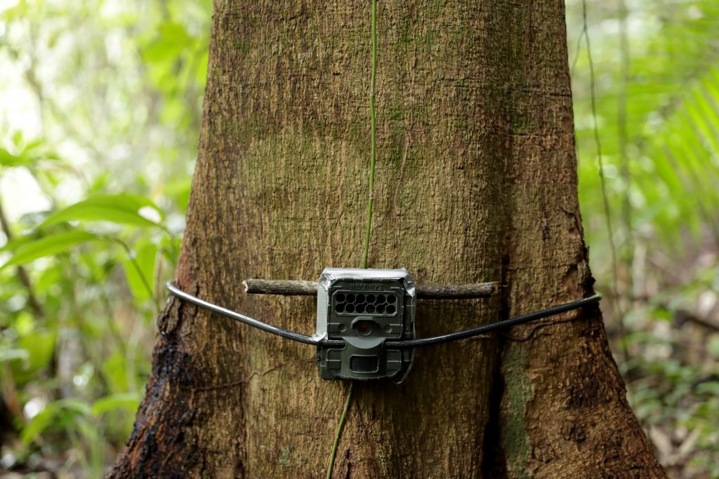 A camera trap installed by biologist Claudio Monteza is fastened to a tree just off the forest floor in San Lorenzo, Panama, Tuesday, April 6, 2021, a...