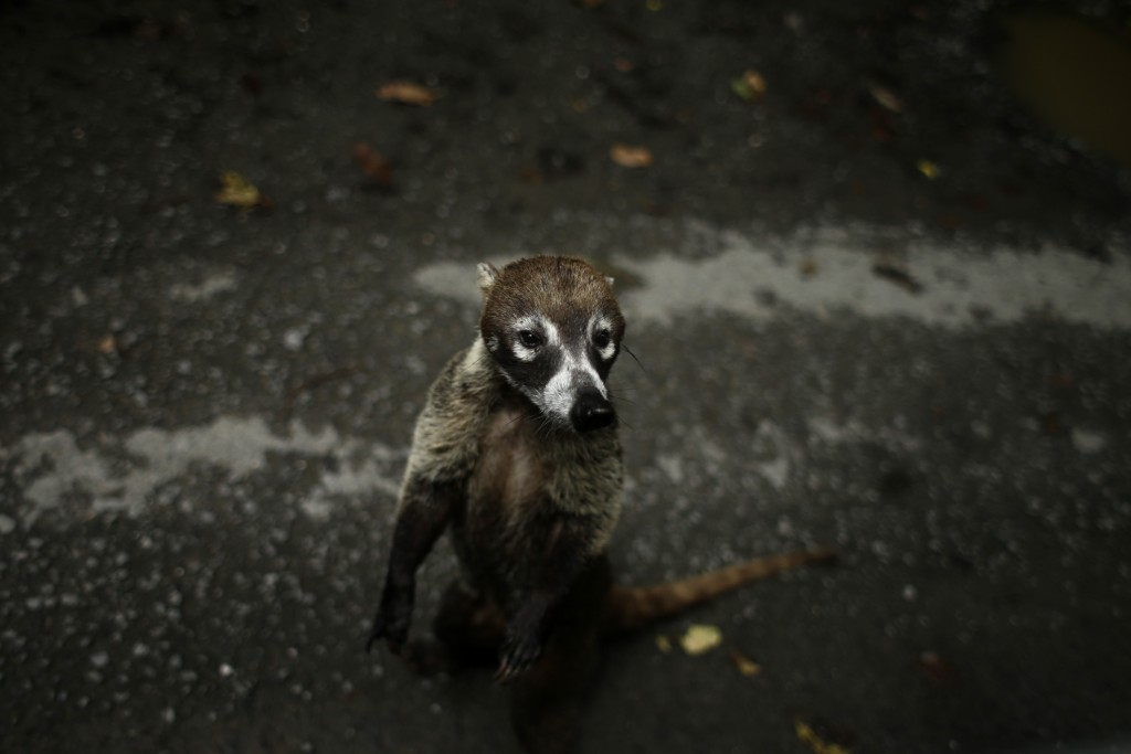 A Coati, a diurnal mammal native to South America, Central America, Mexico, and the southwestern United States, stands on the side of a road after bio...