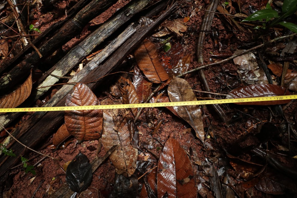 A tape measure is stretched across the forest floor as biologist Claudio Monteza installs one of his remote camera traps in the tropical rainforest in...