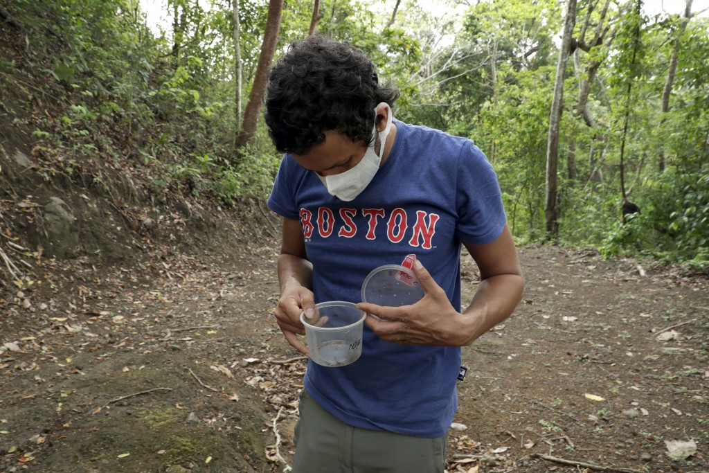 Wearing a mask to curb the spread of the new coronavirus, Dumas Galvez, a researcher of the Smithsonian Tropical Research Institute, looks at ants he ...