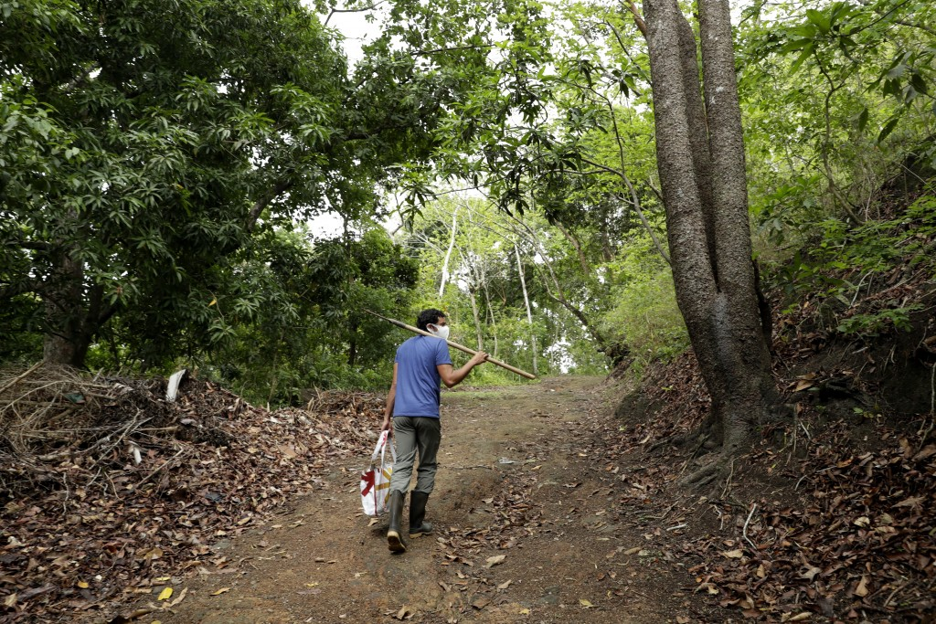 Biologist Dumas Galvez walks along a trial in a forest near his home while looking for ant nests in Paraiso, Panama, Tuesday, April 13, 2021. With ple...