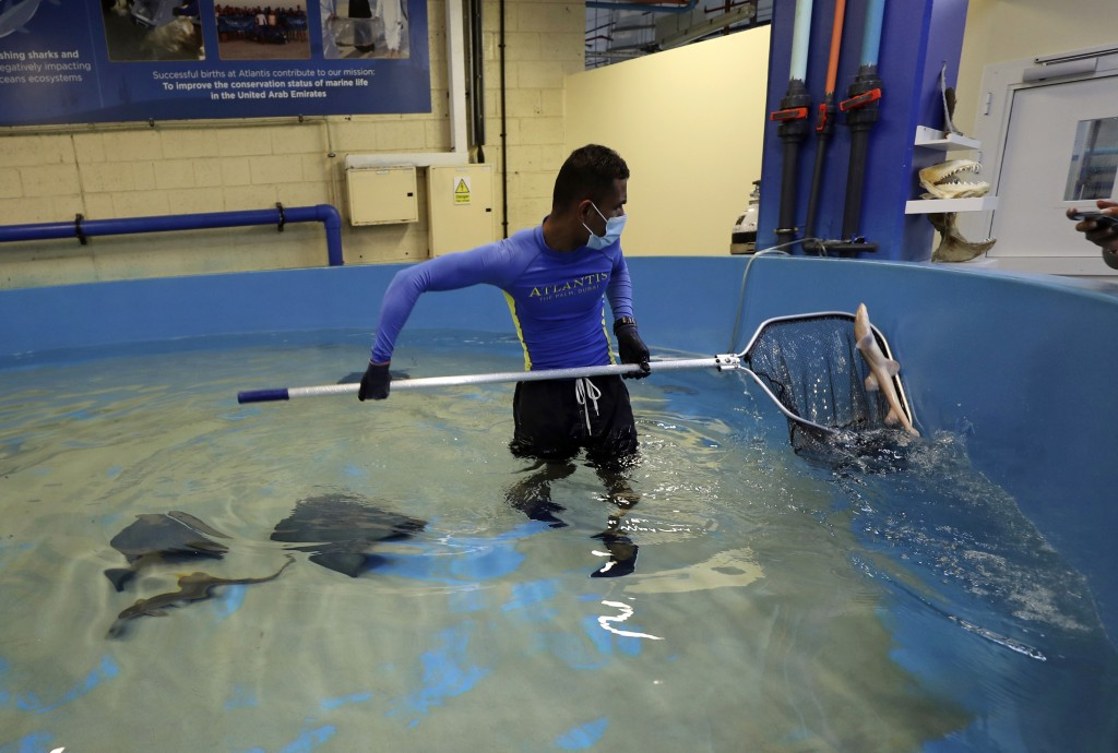 An employee catches a baby Arabian carpet shark as part of a conservation project, at the fish quarantine facilities of the Atlantis Hotel, in Dubai, ...