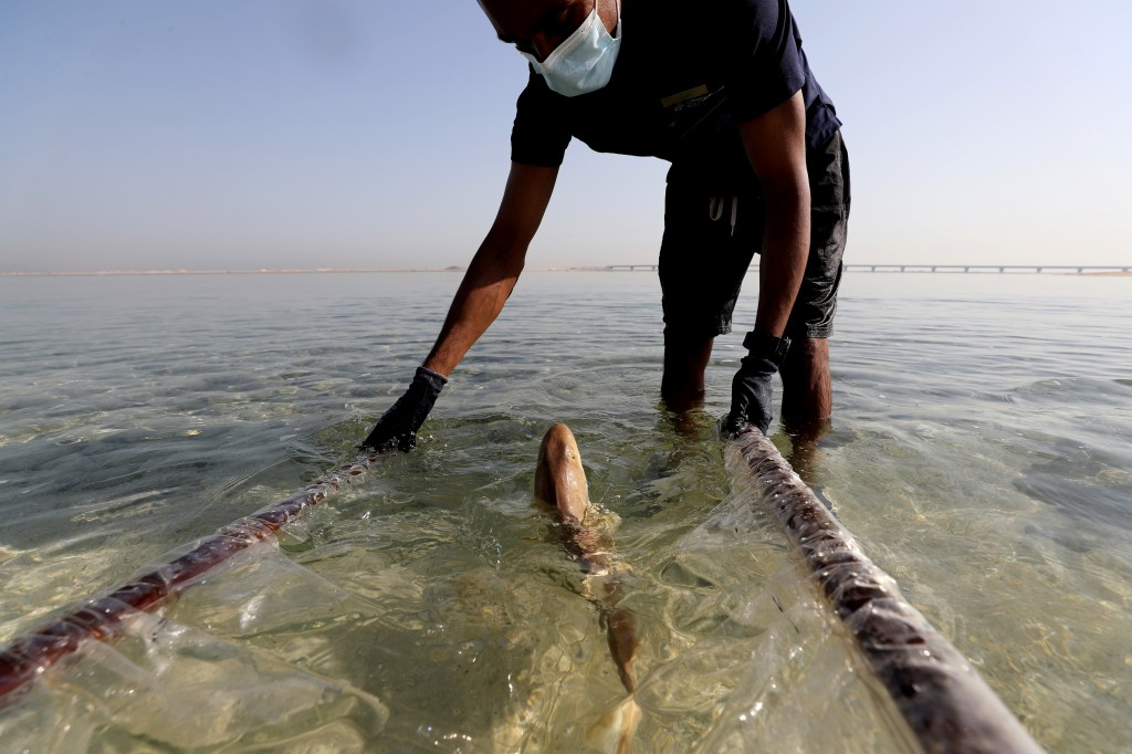 A baby Arabian carpet shark is released into Persian Gulf waters during a conservation project by the Atlantis hotel, at the The Jebel Ali Wildlife Sa...