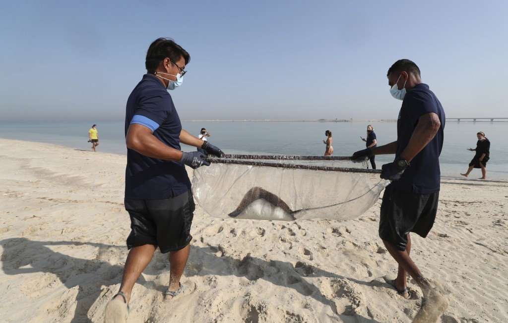 A stingray is being transferred to the Persian Gulf waters as part of a conservation project by the Atlantis Hotel, at the The Jebel Ali Wildlife Sanc...