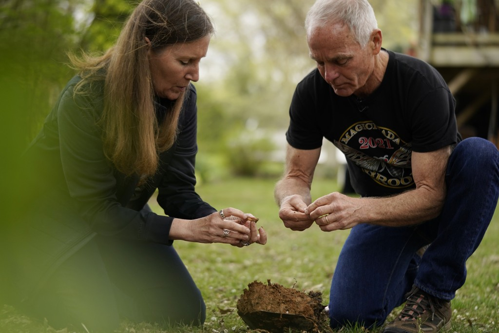 University of Maryland entomologists Michael Raupp and Paula Shrewsbury sift through a shovel of dirt to pick out cicada nymphs in a suburban backyard...
