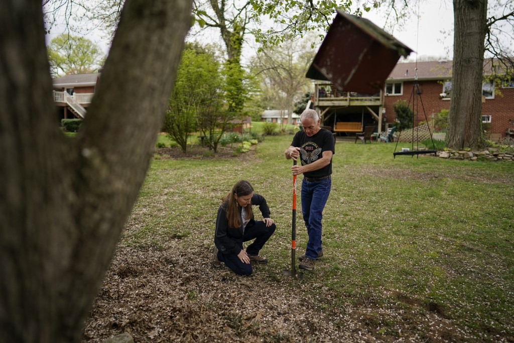 University of Maryland entomologists Michael Raupp and Paula Shrewsbury turn a shovel of dirt to pick out cicada nymphs in a suburban backyard in Colu...