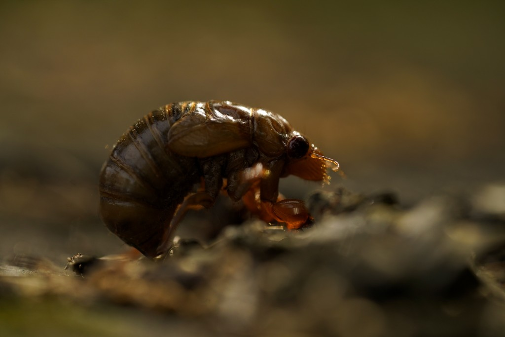 A cicada nymph sits on the ground, Sunday, May 2, 2021, in Frederick, Md. (AP Photo/Carolyn Kaster)