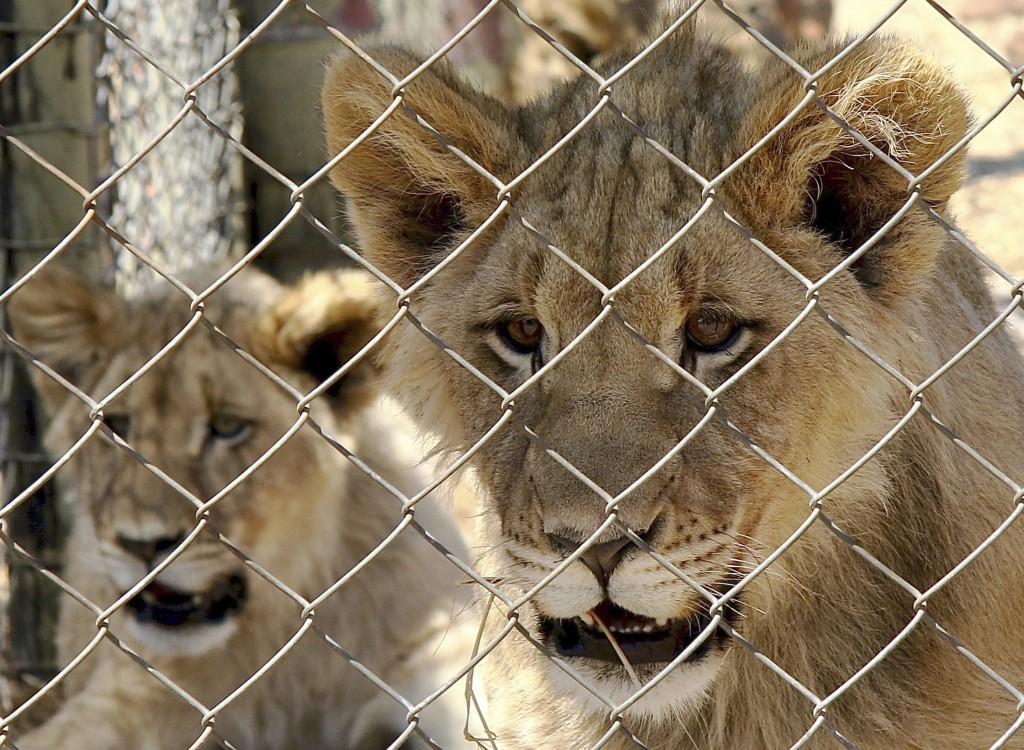 In this photo supplied by Blood Lions a couple of sub adult lions are held at a captive tourism facility in South Africa Sept 9, 2019.  South Africa s...