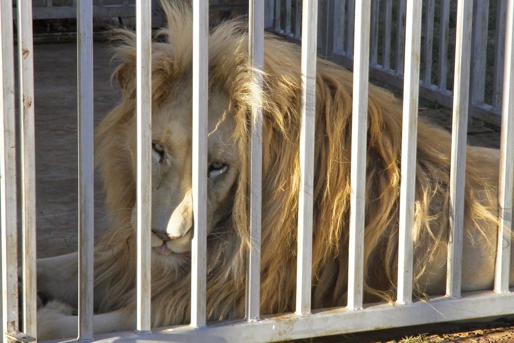 In this photo supplied by Blood Lions a lion is held at a captive tourism facility in South Africa April 5, 2014. South Africa said Thursday May 6, 20...