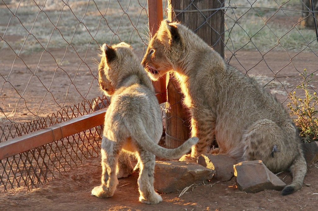 In this photo supplied by Blood Lions lion cubs at a captive tourism facility in South Africa May 12, 2014.  South Africa said Thursday May 6, 2021, i...