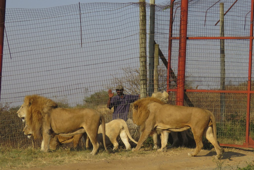 In this photo supplied by Blood Lions a pride of lions are held at a tourism and breeding facility in South Africa July 17, 2019.  South Africa said T...