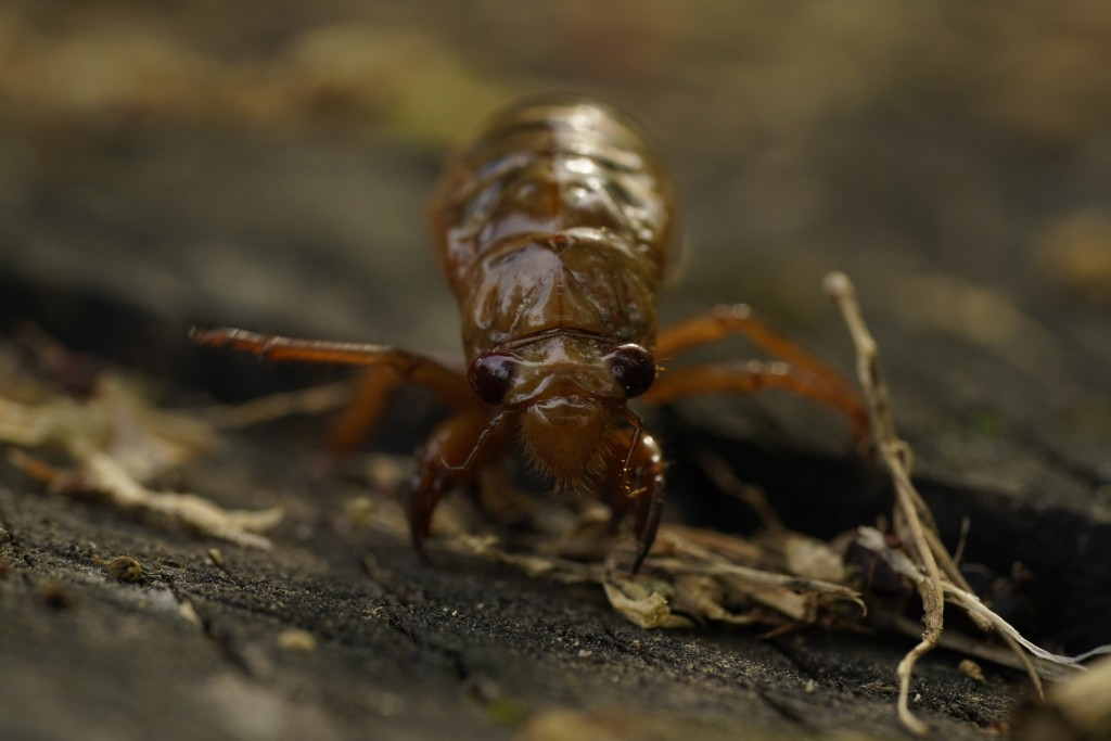 A cicada nymph crawls Sunday, May 2, 2021, in Frederick, Md. The cicadas of Brood X, trillions of red-eyed bugs singing loud sci-fi sounding songs, ca...
