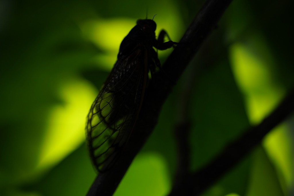 An adult cicada is seen, in Washington, Thursday, May 6, 2021. The cicadas of Brood X, trillions of red-eyed bugs singing loud sci-fi sounding songs, ...