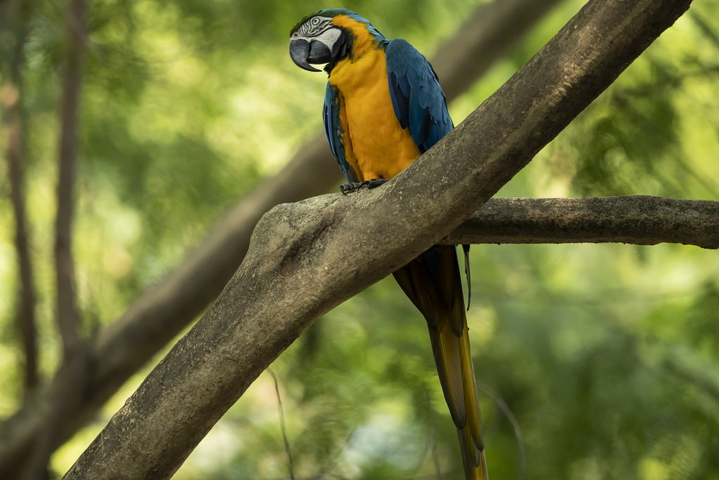 A blue-and-yellow macaw that zookeepers named Juliet perches on a branch outside the enclosure where captive macaws are kept, at BioParque in Rio de J...