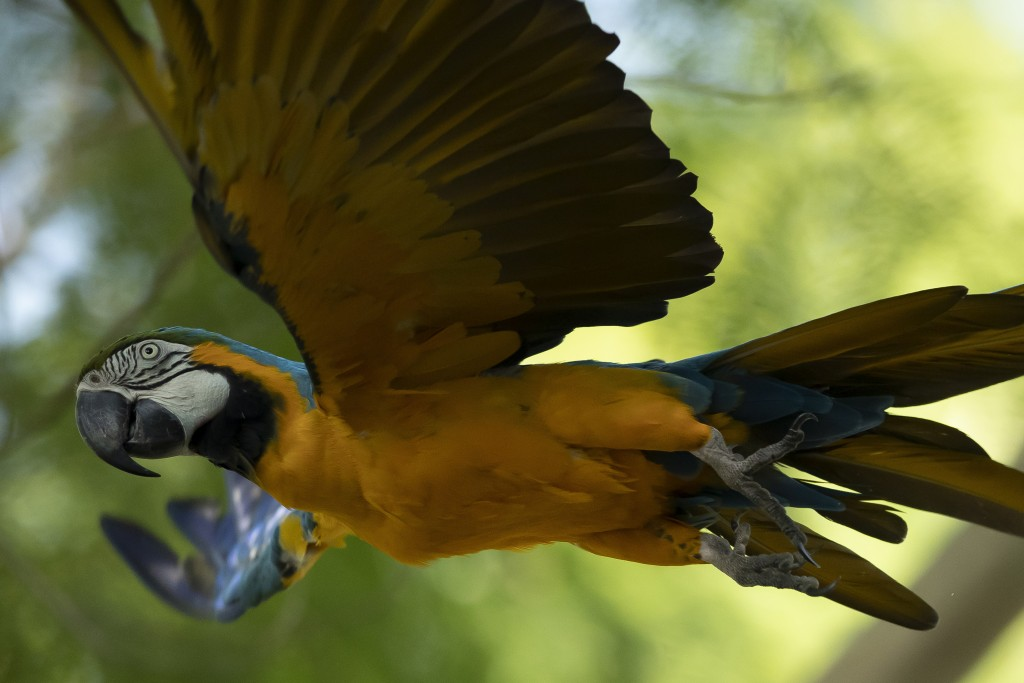 A blue-and-yellow macaw that zookeepers named Juliet flies outside the enclosure where macaws are kept at BioParque, in Rio de Janeiro, Brazil, Wednes...