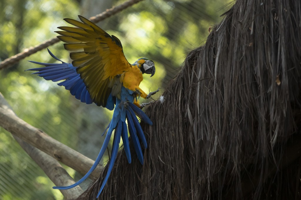 A macaw flies inside an enclosure at BioParque, in Rio de Janeiro, Brazil, Wednesday, May 5, 2021. Macaws are used to flying great distances, more tha...