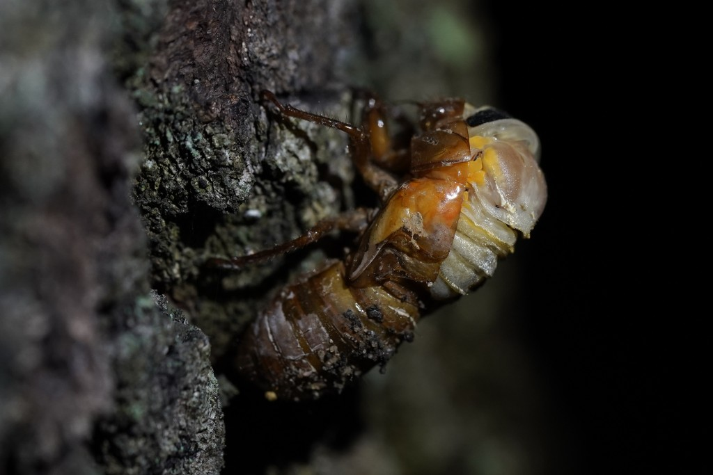 An adult cicada begins to shed its nymphal skin, Tuesday, May 4, 2021, on the University of Maryland campus in College Park, Md. The cicadas of Brood ...