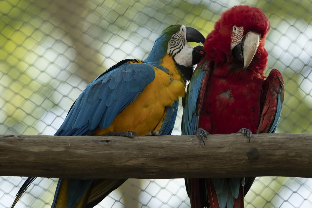 A blue-and-yellow macaw grooms a red-and-green macaw, inside an enclosure at BioParque, in Rio de Janeiro, Brazil, Wednesday, May 5, 2021. Last year,...
