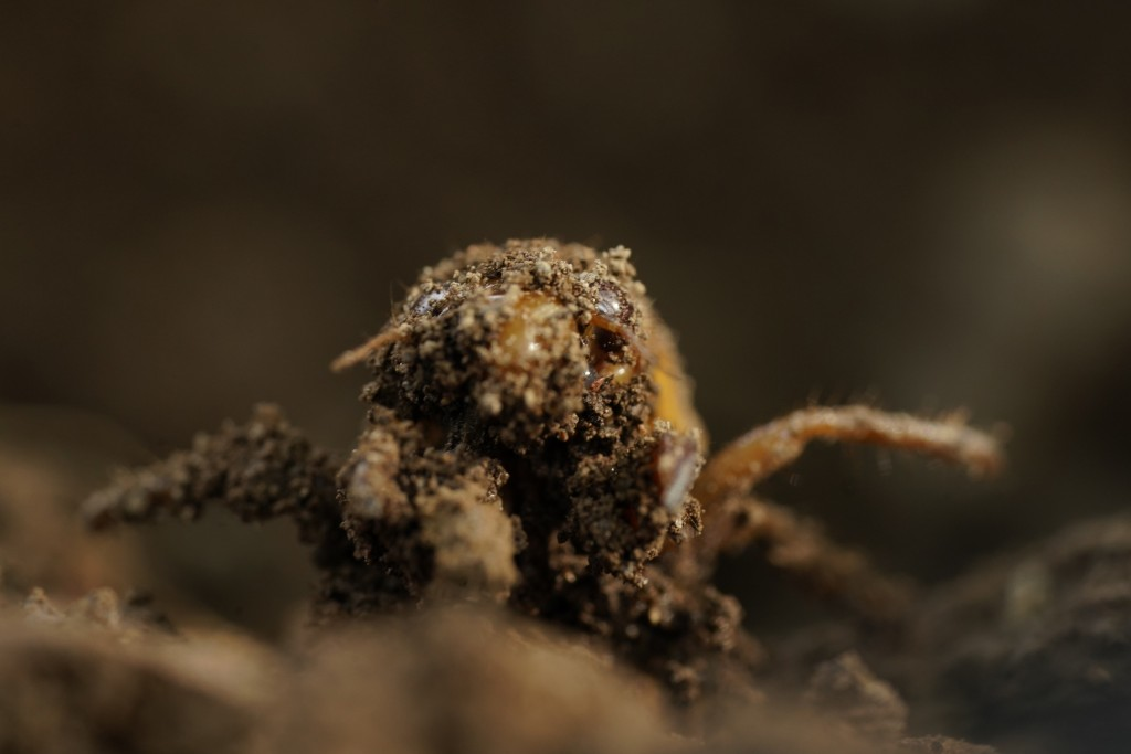 A dirt-covered cicada nymph crawls up, Sunday, May 2, 2021, in Frederick, Md. The cicadas of Brood X, trillions of red-eyed bugs singing loud sci-fi s...
