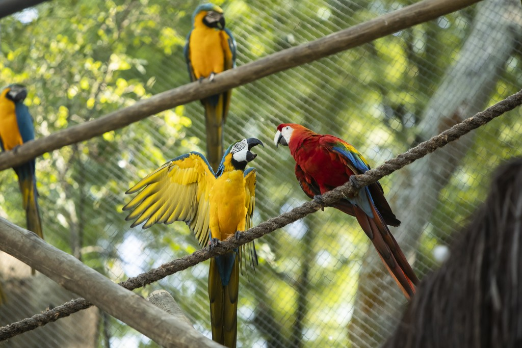 A pair of macaws perch on a rope inside an enclosure at BioParque, in Rio de Janeiro, Brazil, Wednesday, May 5, 2021. Macawgender isnear impossible...