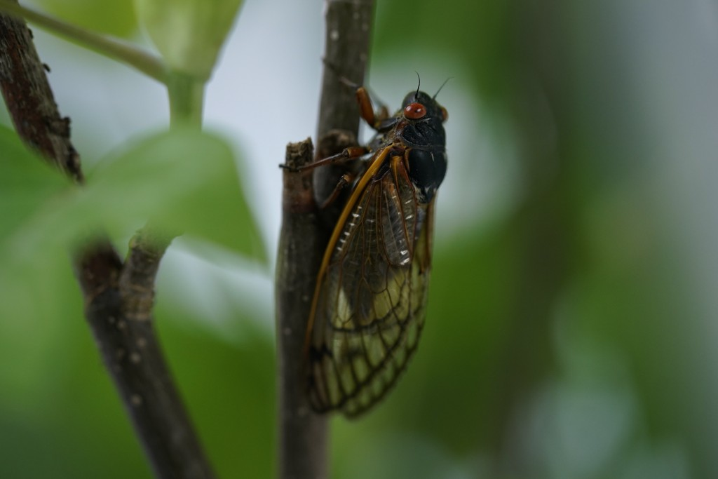 An adult cicada is seen, in Washington, Thursday, May 6, 2021. Trillions of cicadas are about to emerge from 15 states in the U.S. East. The cicadas o...