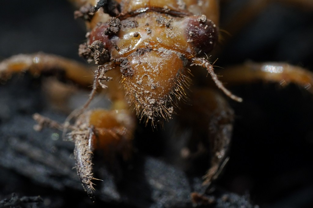 A dirt covered cicada nymph is seen Sunday, May 2, 2021, in Frederick, Md. The cicadas of Brood X, trillions of red-eyed bugs singing loud sci-fi soun...