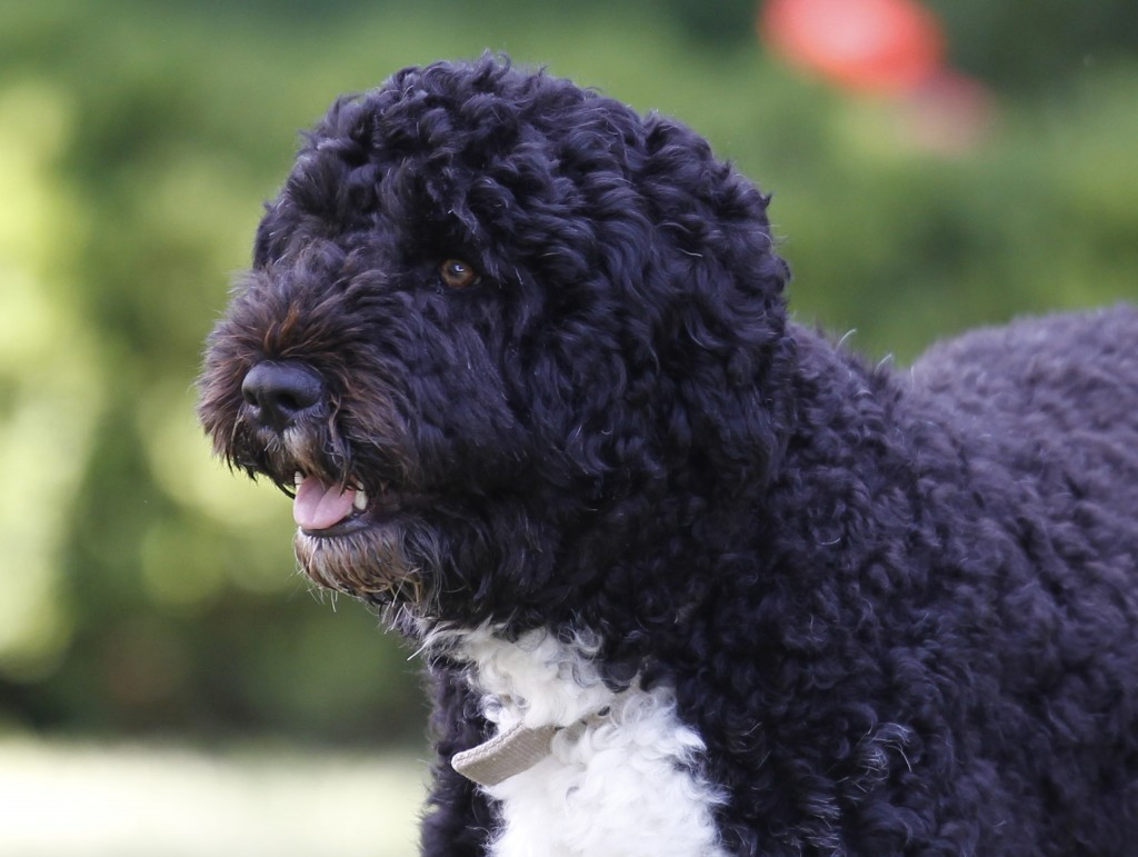 FILE - In this June 13, 2011, file photo Bo, a Portuguese water dog and the family pet of President Barack Obama, is seen in the Rose Garden of the Wh...