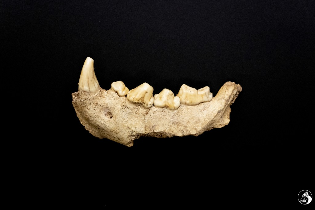This image released by the Italian Culture Ministry shows a fossil jaw  that were discovered  in a cave near Rome, shedding new light on how the Itali...