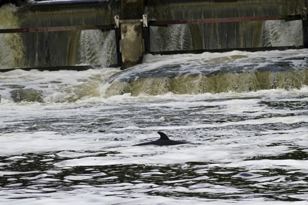 A Minke whale, which was freed on Sunday after it became stuck on Richmond lock's boat rollers but has remained in the Thames, is seen near Teddington...