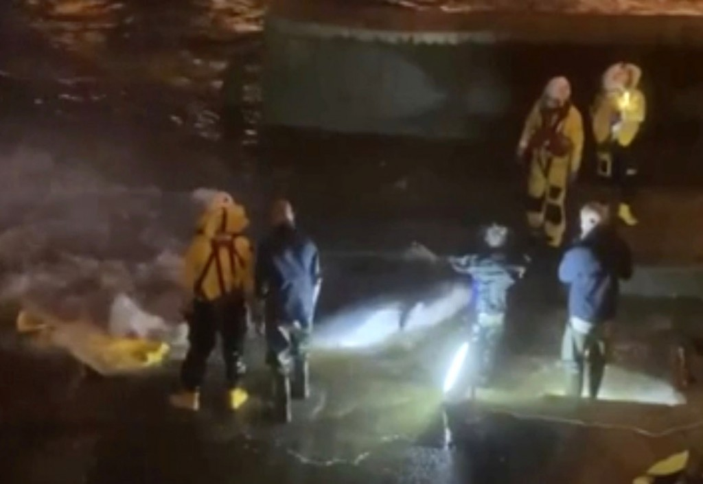 In this image taken from video, a rescue crew attempt to move a whale to safety at Richmond Lock, London, Sunday May 9, 2021, after it became stranded...