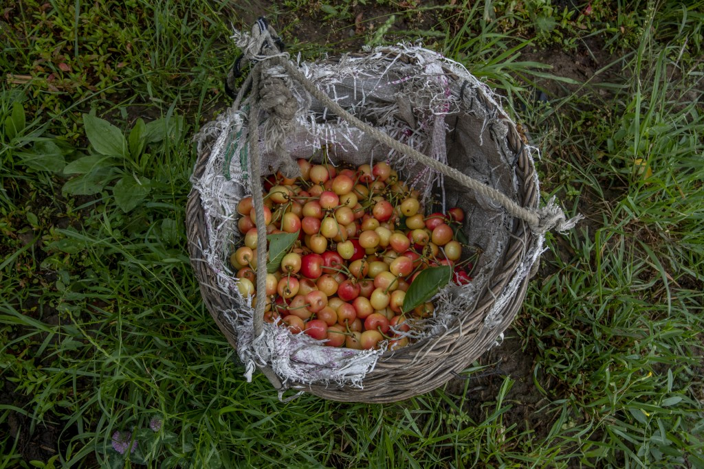 Cherries plucked by Kashmiri farmers are seen inside a wicker basket inside an orchard in Waliwar village, north east of Srinagar, Indian controlled K...
