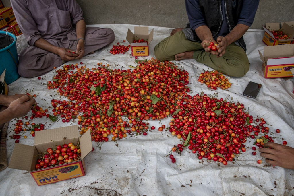 Kashmiri farmers pack freshly plucked cherries before sending them to a wholesale market in Waliwar village, north east of Srinagar, Indian controlled...