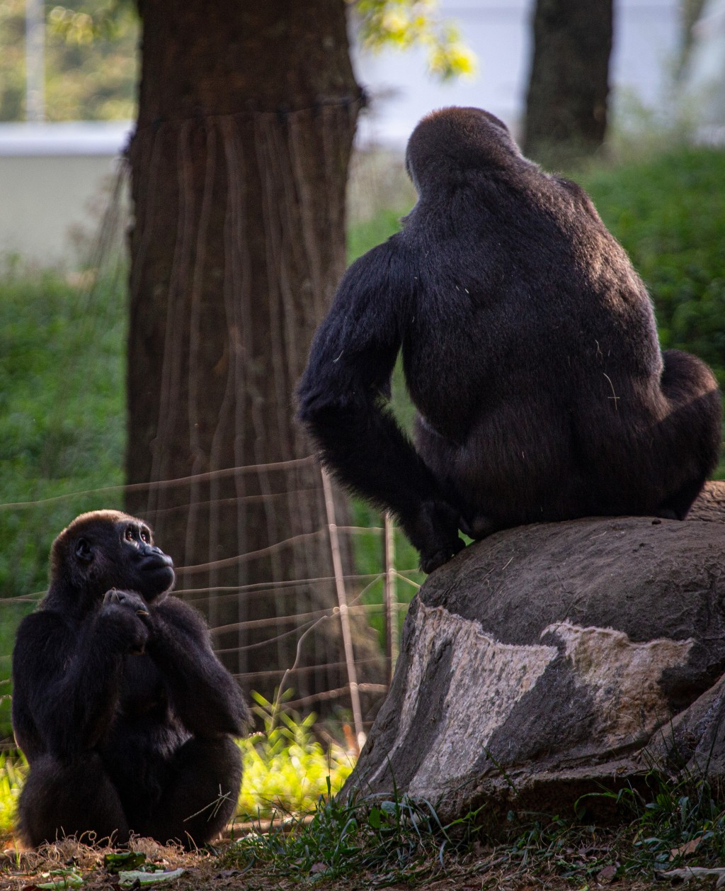 Western lowland gorillas are seen in their habitat at Zoo Atlanta on Tuesday, Sept. 14, 2021, in Atlanta. Nearly all of the zoo's 20 gorillas are show...