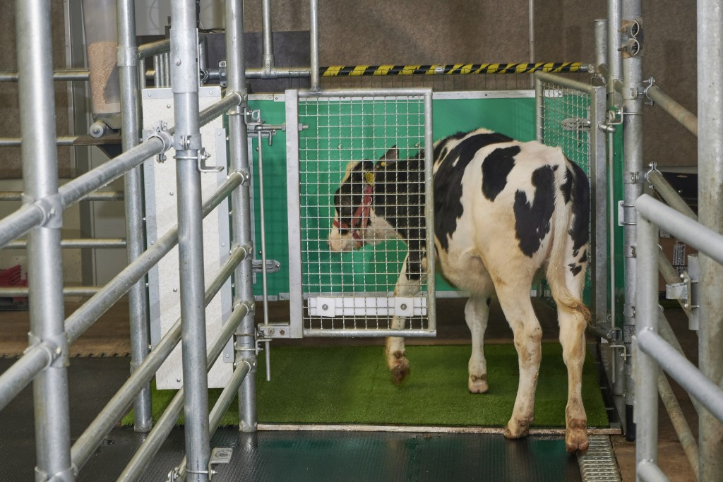 In this undated photo provided by the Research Institute for Farm Animal Biology in Dummerstorf, Germany in September 2021, a calf enters an astroturf...