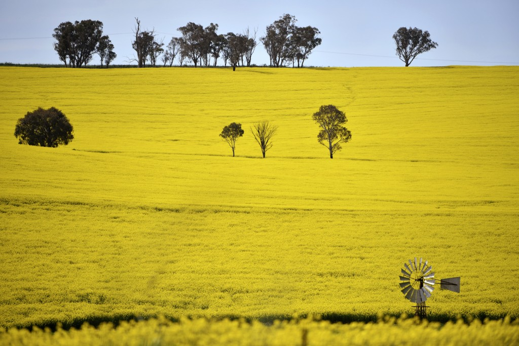 A windmill pokes above a canola crop near Harden, 350 kms. (217 miles) south west of Sydney, Sept. 17, 2020. Australia is forecast to reap record reve...