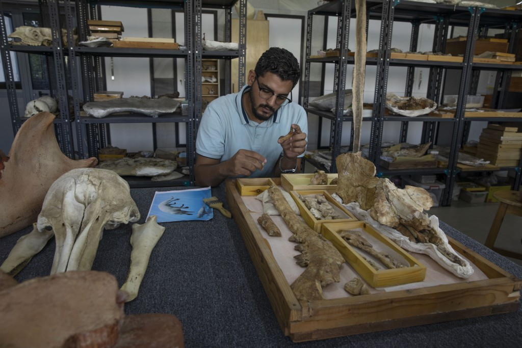 """Egyptian researcher at Mansoura University Abdullah Gohar, shows the fossil of a 43 million-year-old four-legged prehistoric whale known as the """"Phiom..."""
