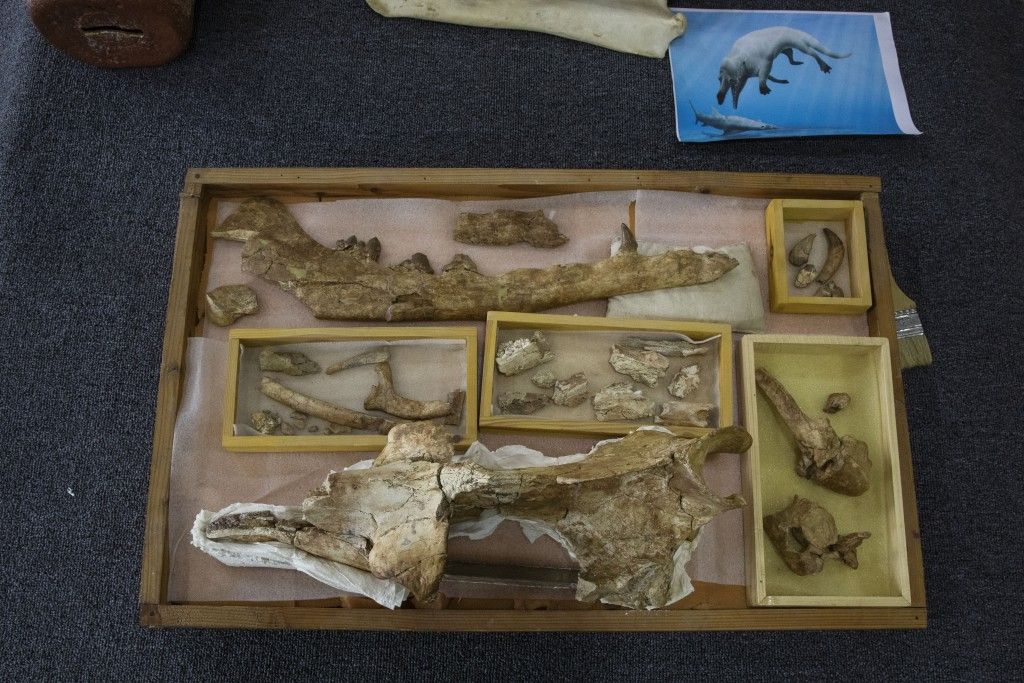 """The fossils of a 43 million-year-old four-legged prehistoric whale known as the """"Phiomicetus Anubis,"""" in an evolution of whales from land to sea, whic..."""