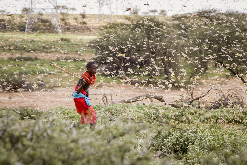 FILE - In this file photo taken Thursday, Jan. 16, 2020, a Samburu boy uses a wooden stick to try to swat a swarm of desert locusts filling the air, a...
