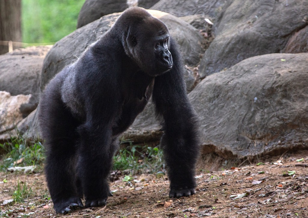 A western lowland gorilla is seen in its habitat at Zoo Atlanta on Tuesday, Sept. 14, 2021, in Atlanta. Nearly all of the zoo's 20 gorillas are showin...