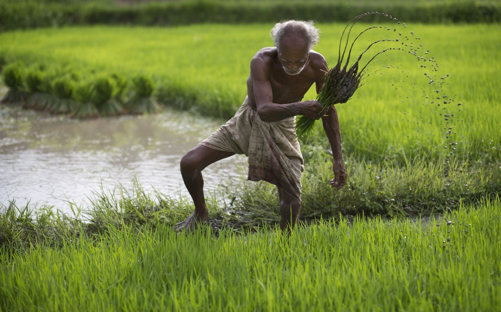FILE - In this July 3, 2015 file photo, a farmer works in a rice paddy field at Reba Maheswar village, 56 kilometers (35 miles) east of Gauhati, India...