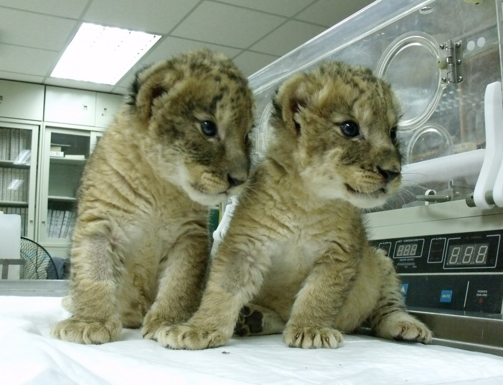 """Lion cubs """"Little Sim""""and """"Little Ba""""at Kaohsiung's Shoushan Zoo."""