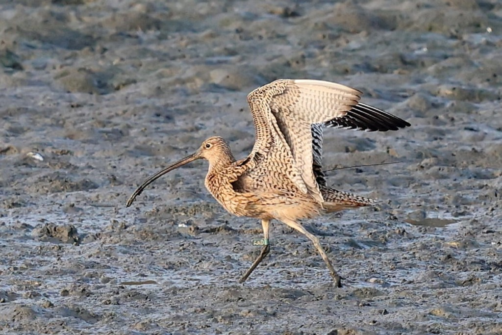 Missing Far Eastern curlew found in Tainan