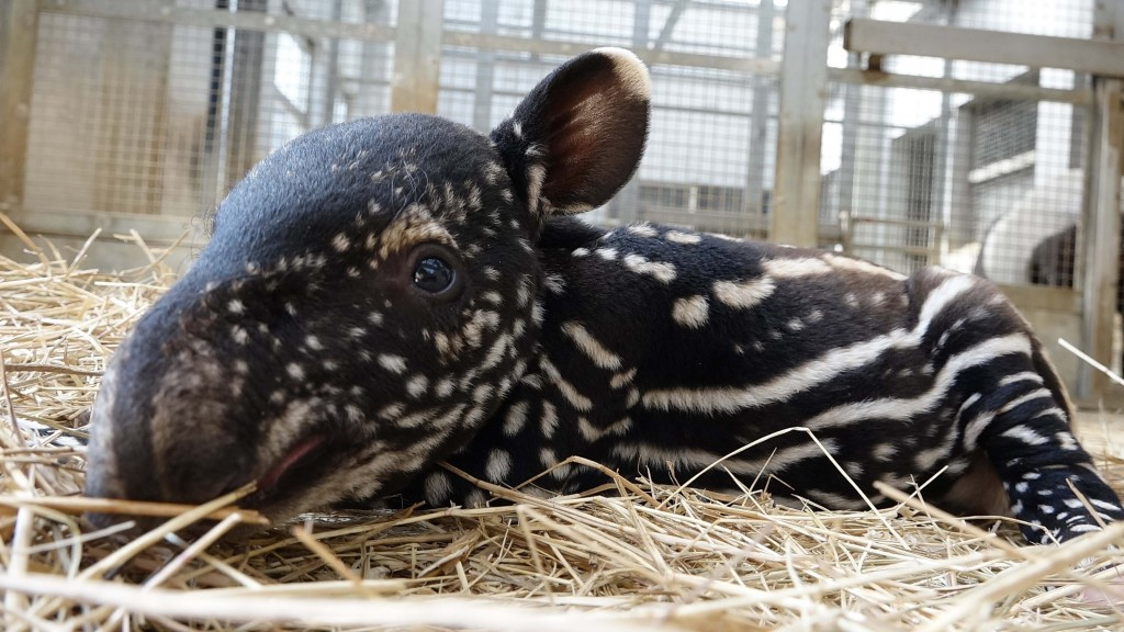 The name of Taipei Zoo's new baby tapir will be announced after voting ends. (Taipei Zoo photo)