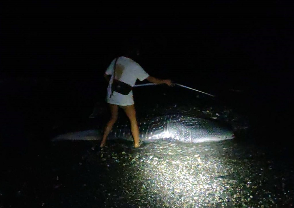 The carcass of a whale shark was found washed ashore in Taitung.