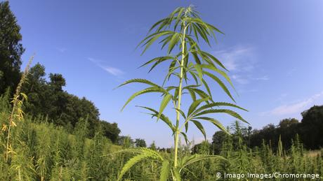 For centuries, hemp was a common crop found across Japan