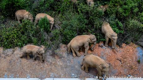 The herd of 15 elephants has caused over 400 incidents