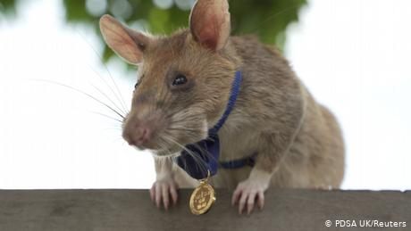 The rat won the animal equivalent of Britain's highest civilian honor for bravery