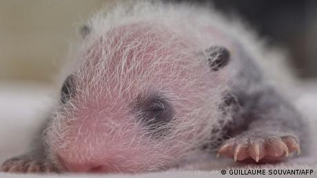 Healthy giant panda cubs frequently squeal as a means of communication