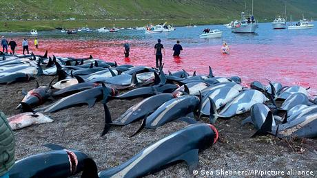 Dolphins and whales are hunted on the Faeroe Islands for their meat and blubber