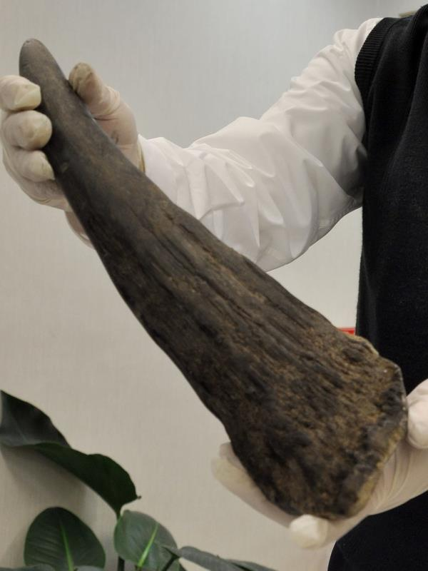 Traditional medicine official questioned about rhino horn imports